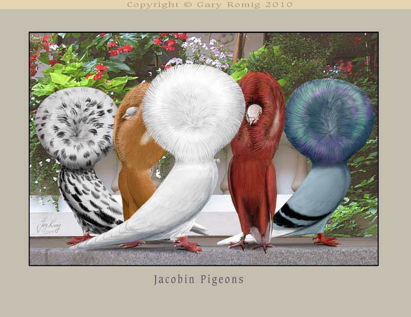 Red Jacobin Pigeon